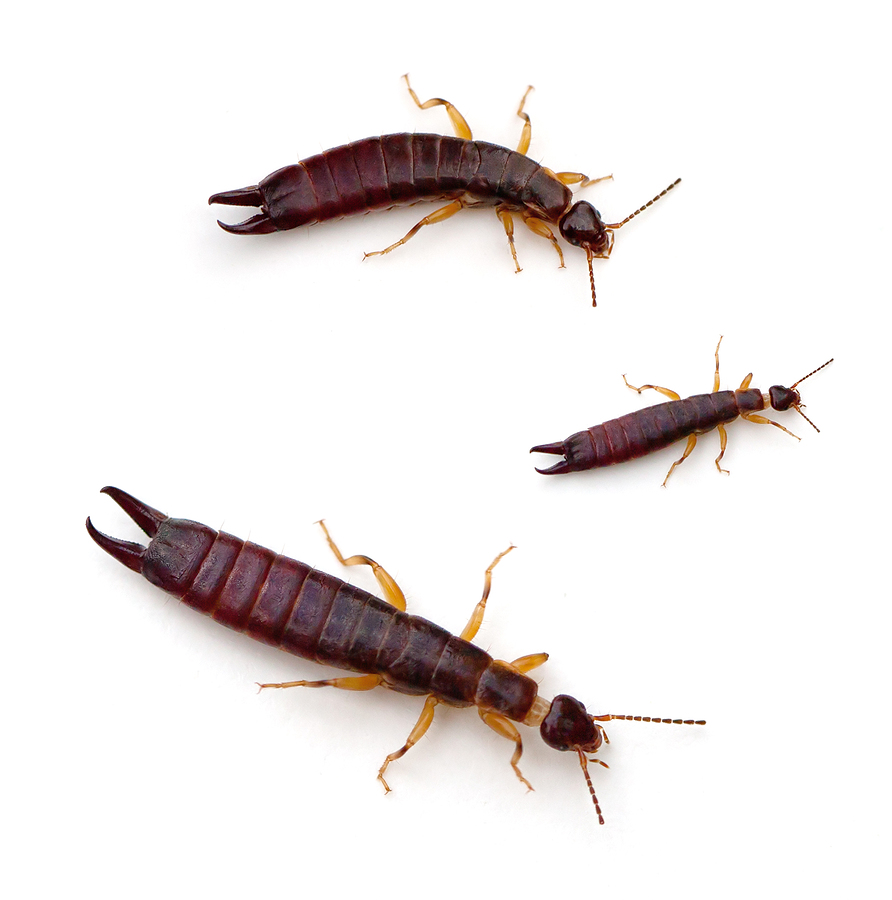 Earwigs Pest Control Products and Supplies