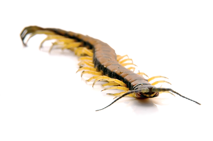 Millipedes pest control products and supplies