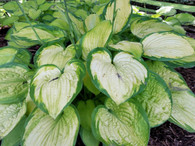 Hosta 'September Sun' in summer showing leaf color lightening to a bright cream with brilliant green margins.