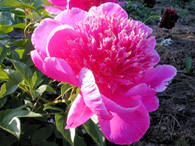 Peony 'Break of Day'