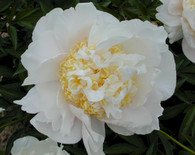 Peony 'Glowing Candles'