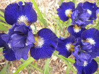 Iris sibirica 'Over in Gloryland'