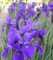 Iris sibirica 'Purple Teal'