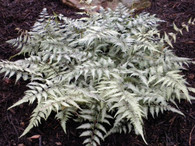 Japanese Painted Fern