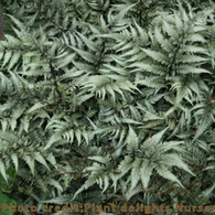Giant Japanese Painted Fern