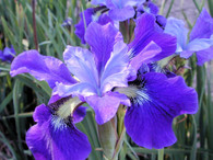 Iris sibirica 'Steve'