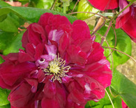 Clematis 'Charmaine'