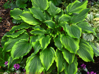 Spring image of hosta 'One Last Dance' with its intense yellow margins.