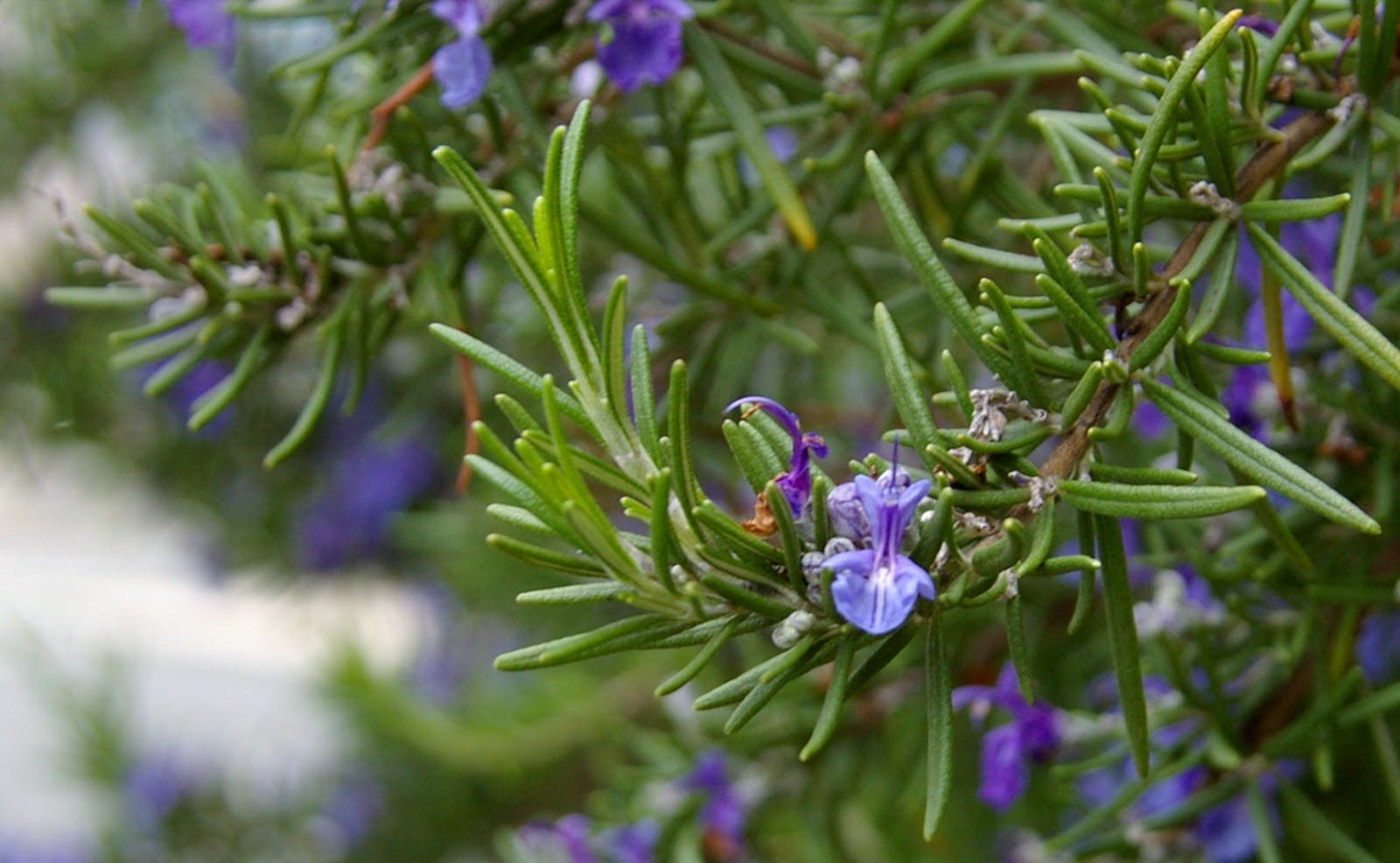 Food for taut skin roses are red violets are blue rosemary is i first knew rosemary as a kind of an essential oil which people use either to give their homes a sweet aromatic smell or to make their hair longer and izmirmasajfo