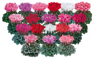 Pom Pom Cyclamen (delivery only)