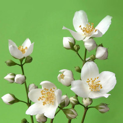 Pure Essential Oil - Jasmine 3% in Jojoba