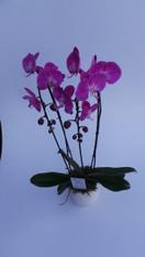 Pink Phalaenopsis Plant