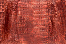 Caiman Skin Belly Zak Orange