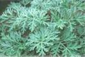 Wormwood Herb Cut 2 oz $4.95