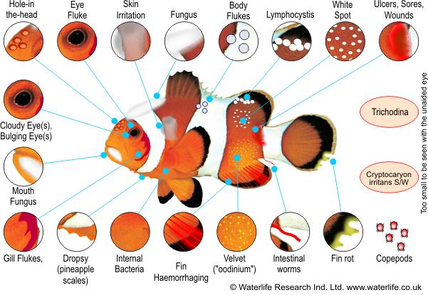 Image gallery marine flukes for Freshwater fish parasite identification