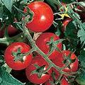 Chadwick Cherry Tomato