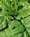 WHOLESALE Matador Spinach-Big Pack