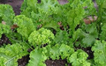 Wholesale Mustard/Georgia Southern Giant Curled-20,000 Seeds