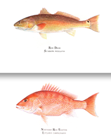 Red Drum (aka Redfish) & Red Snapper Special Introductory Print Offer
