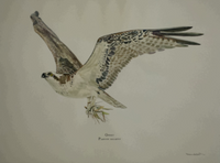 "Georges River Osprey (Pandion haliaetus) 11""x14"" Fine Art Print"
