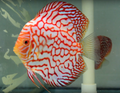 Martin Ng Red Eagle Discus Possible Pair