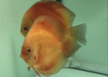Red Melon Discus Possible  Pair