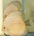 DXcus Golden Checkerboard Pigeon Discus Possible Pair