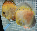 Dexter Chung Yellow White Gold Discus Proven Pair