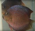 Leopard Snakeskin Discus Proven  Breeding Pair