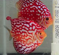 Martin Ng Red Eagle Discus Proven Breeding Pair
