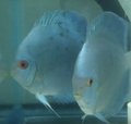 Deep Blue Gene Blue Diamond Discus Breeding Pair