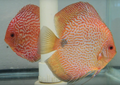 Super Pigeon Snakeskin Discus Possible Pair