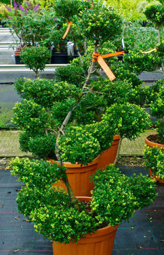 "Ilex Crenata ""Glorie Gem"" - Bonsai - 1m20cm - Coming Soon -"