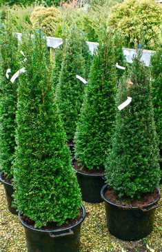 Yew. Taxus. Rotherhill Nurseries. Garden Centre. West Sussex. Hampshire. Surrey. London.