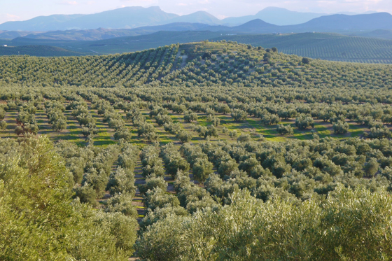 Olive grove in Andalusia, Spain