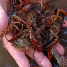 Fresh Live Crawfish