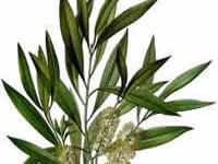 Cajaput Essential Oil