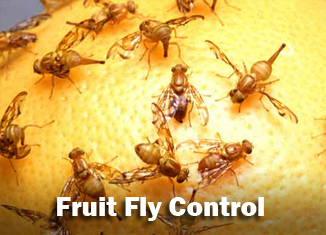 fruit fly control