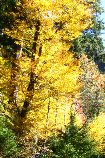 Yellow Birch - Betula ...