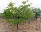 african-blackwood.jpg
