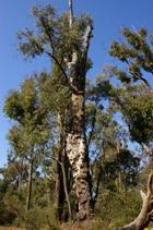 jarrah-tree.jpg