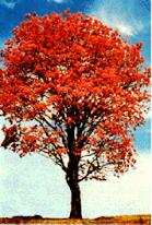 lapacho-tree.png