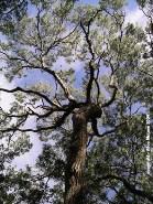 mahogany-tree.jpg