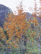 northern-silky-oak.jpg