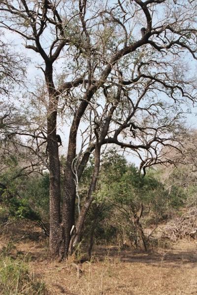 tamboti-tree2.jpg