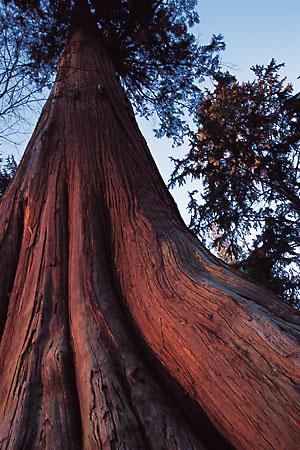 western-red-cedar.jpg