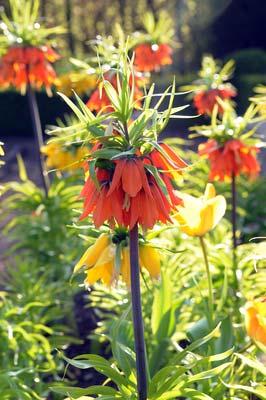 Fritillaria.jpg