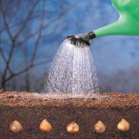 bulbs-watering.jpg