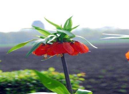 fritillaria-imperialis.jpg