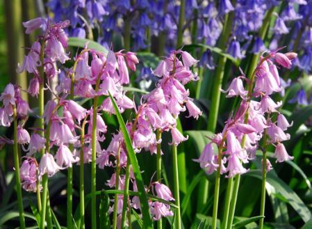 hyacinthoides-hispanica.jpg